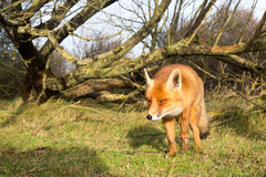 Red Fox. Red fox walking in the bushes Stock Photography