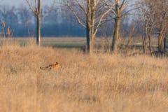 Red Fox Walking Through field, spring morning Vulpes vulpes. Wildlife royalty free stock photos