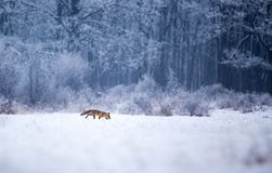 Red fox walking in forest on snow. Red fox walking on snow with forest in background. Wildlife in natural habitat in winter time royalty free stock image
