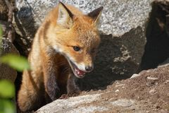 Red fox walking in forest Stock Photos