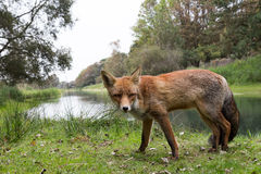 Red Fox. Red Fox walking in front of ditch from the left site Stock Photo