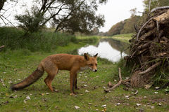 Red Fox. Red Fox walking in front of ditch from the right site Stock Photography