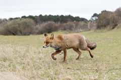 Red fox. Red fox walking on grass field Royalty Free Stock Photography