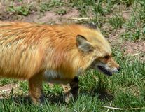 Red fox walking in the grass stock photo
