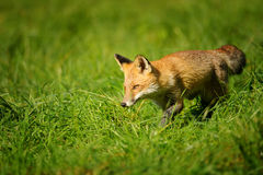 Red fox walking in green grass Stock Images