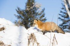 Red fox walking on ledge Stock Image
