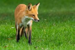 Red Fox. Walking on a manicured lawn. Rosetta McClain Gardens, Toronto, Ontario, Canada royalty free stock photography