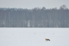 Red fox walking over the field Stock Images