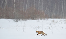 Red fox walking through the snow Royalty Free Stock Images