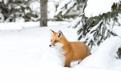 Red fox walking in the snow in Algonquin Park in Canada. Red fox Vulpes vulpes with bushy tail walking in the snow in Algonquin Park in Canada stock image