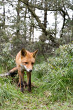 Red Fox. Red Fox walking to the photographer Stock Image