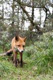 Red Fox. Stock Image