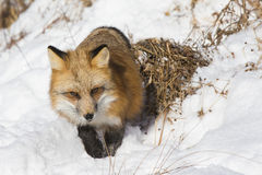 Red fox walking toward camera Royalty Free Stock Photo