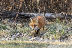 Red Fox walking towards the photographer Stock Photography