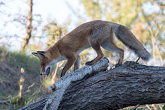 Red Fox. Red Fox walking on tree trunk Stock Photo