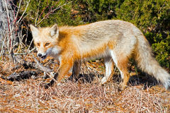 Red Fox. Walking in the woods Royalty Free Stock Photos