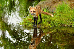 Red Fox and water reflection. Royalty Free Stock Image