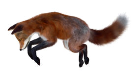 Red Fox on White Royalty Free Stock Images