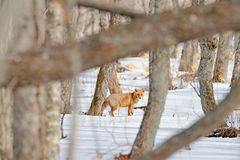 Red fox in white snow. Cold winter with orange fur fox. Hunting animal in winter forest, Japan. Beautiful orange coat animal natur. Red fox in white snow. Cold Stock Photos