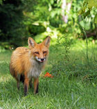 Red fox in the wild Royalty Free Stock Photo
