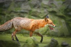 Red fox. A wild red fox is running in its natural environment stock photo