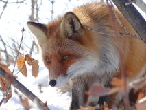 Red Fox in the wild Stock Photography