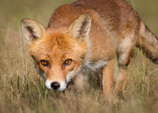 Red fox. Wild Wiley Red fox hunting closeup Stock Image