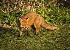 Red Fox. Wildlife of Britian. Red Fox, British Wildlife. Tynemouth. North East England royalty free stock photo