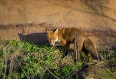 Red Fox. Wildlife of Britian. Red Fox, British Wildlife. Tynemouth. North East England stock photos