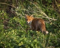 Red Fox. Wildlife of Britian. Red Fox, British Wildlife. Tynemouth. North East England stock photography