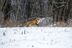Red Fox in a Winter Forest Royalty Free Stock Images