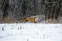 Red Fox in a Winter Forest Stock Image