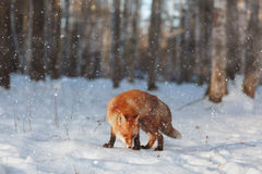 Red fox in winter forest Royalty Free Stock Photos