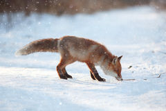 Red fox in winter forest Royalty Free Stock Image