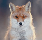Red fox in winter forest Stock Photos