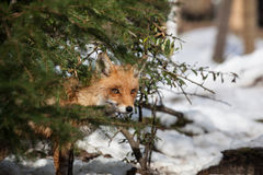 Hiding fox Stock Photos