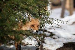 Hiding fox Stock Photos