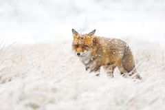 Red fox in the snow royalty free stock photography