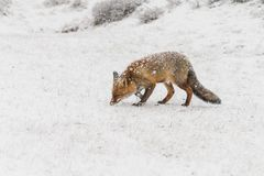 Red fox in a winter landschap,. During first snowfall at the Dutch dunes Stock Photo