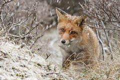 Red fox in a winter landschap,. During first snowfall at the Dutch dunes Royalty Free Stock Photos
