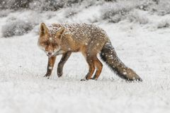Red fox in a winter landschap,. During first snowfall at the Dutch dunes Royalty Free Stock Image