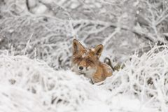 Red fox in a winter landschap,. During first snowfall at the Dutch dunes Stock Photography