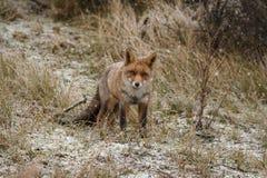 Red fox in a winter landschap, Stock Photo