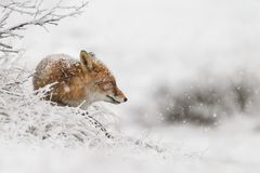 Red fox in a winter landschap, Royalty Free Stock Photo