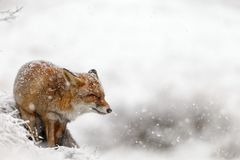 Red fox in a winter landschap,. During first snowfall at the Dutch dunes Stock Image
