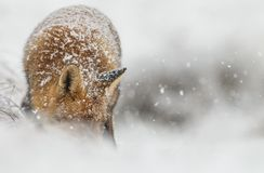 Red fox in a winter landschap,. During first snowfall at the Dutch dunes Royalty Free Stock Photography