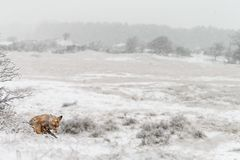 Red fox in a winter landschap, Royalty Free Stock Image