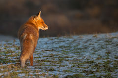 Red fox in winter light Royalty Free Stock Images