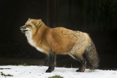 Red fox in winter. Male furry red fox in winter standing the snow, Germany, Europe stock photo