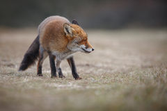 Red fox in winter Stock Photos